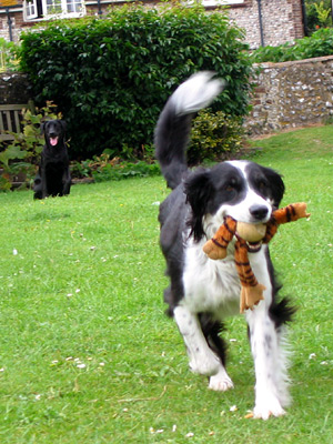 Border collie and labrador playing fetch outside the Tiger Inn, East Dean village, East Sussex