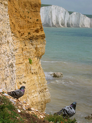 Pigeons on the White Cliffs