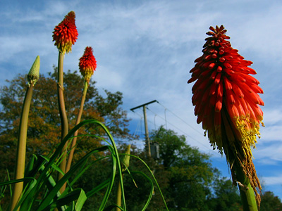 Flowering red hot pokers, Kniphofia