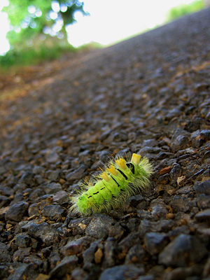 A hairy caterpillar, a pale tussock moth in larval form