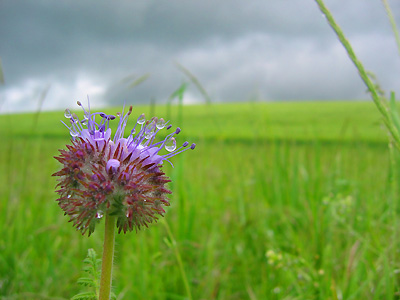 Centaurea scabiosa, greater knapweed, in field near Idle Hill, Watton-at-Stone, Hertfordshire, England, Britain, UK