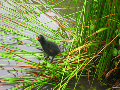 Moorhen chick, Gallinula chloropus, in pond, Benington, Hertfordshire, England, Britain, UK