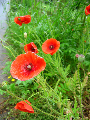 Poppies by the roadside near Salehurst