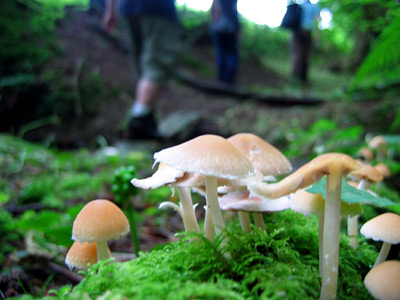 Tiny mushrooms by the path in Seven Acre Wood
