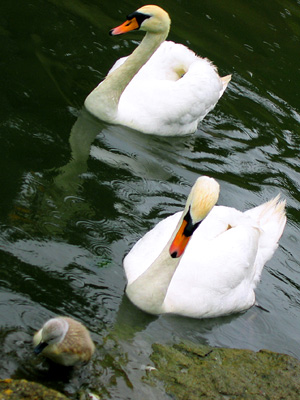 White swans in the moat at Leeds Castle