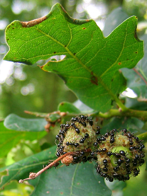 Ants on acorns, with oak leaf