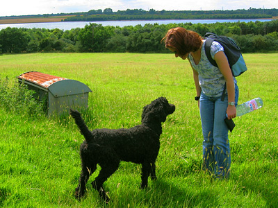 Labradoodle near Abberton Reservoir
