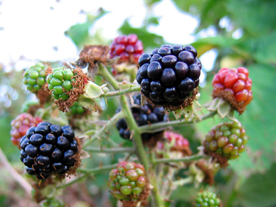 Blackberries ripening at Rowhedge, Essex