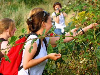 Picking blackberries on the path near Rowhedge, Essex