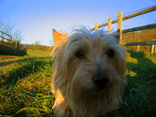 Terrier in the Chiltern Hills, November 2007