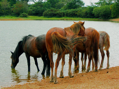 New Forest ponies drinking