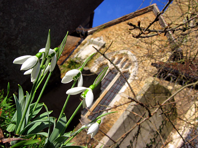 Snowdrops in the churchyard at Godalming