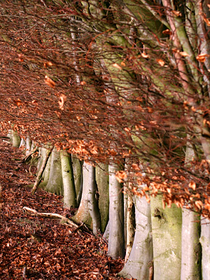 Beech trees near Clock Barn Farm