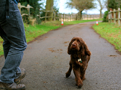 Chocolate spaniel at Clock Barn Farm