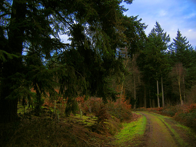 Logging trail through Busbridge Woods