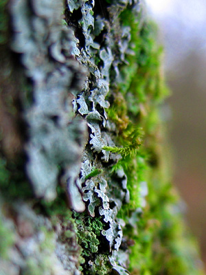 Close-up of tree bark with moss and lichen, Winkworth Arboretum